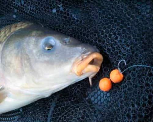 Ловля карпа на бойлы: рекомендации опытных рыбаков