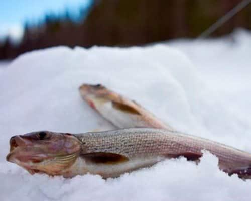 Как заядлые рыбаки ловят хариуса зимой: где искать и на что ловить хищника?