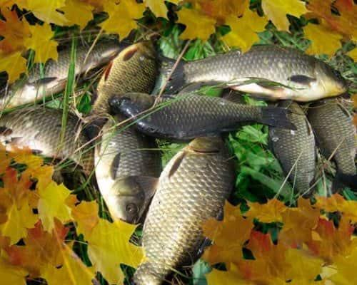 На что ловить карася в октябре: советы профессионалов
