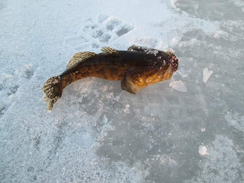 Ловля ротана зимой – поведение рыбы и тактика