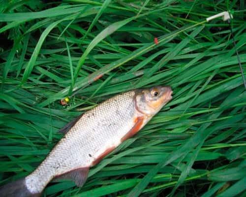 Рыба язь образ жизни лучшие места для ловли выбор рабочей снасти и приманки