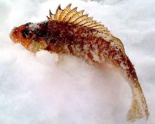 Ёрш – маленькая рыбка с интересными достоинствами