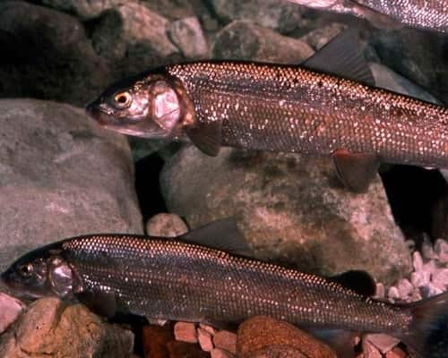 Рыба сиг – все о разнообразии форм и повадках древней обитательницы водоемов