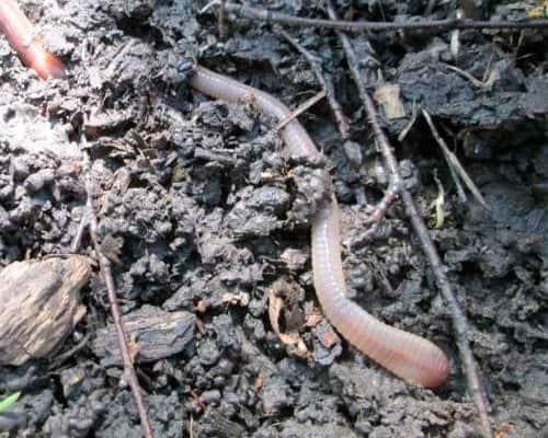 Поиск, хранение и использование на рыбалке дождевых червей выползков