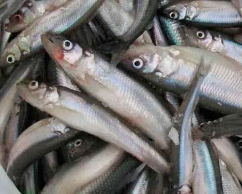 Зимняя рыбалка на корюшку особенности поведения и выбор снастей