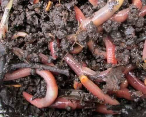 Разведение и выращивание червей для рыбалки