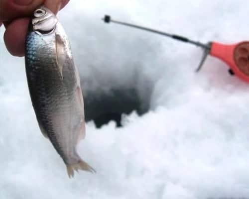 Маленькие хитрости успешной подледной ловли уклейки зимой