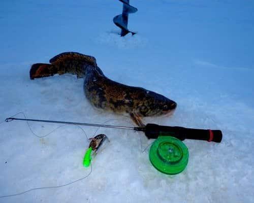 Секреты рыбалки на налима зимой