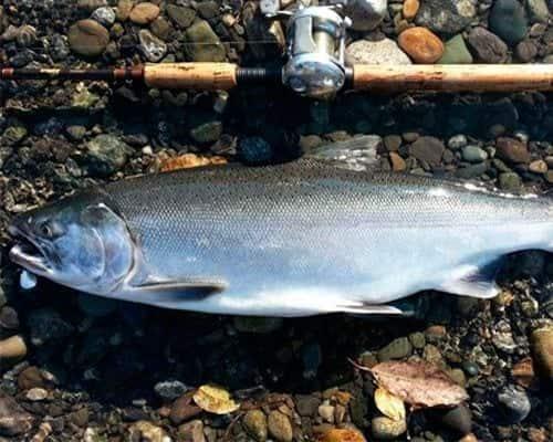Рыба таймень: состав и польза. Как готовят таймень