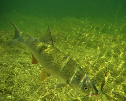 Жерех – рыба хищная