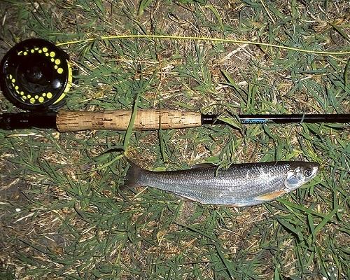 Благородный нахлыст и царская рыба
