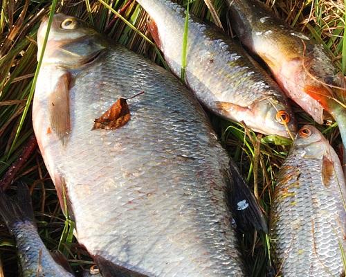 Как сохранить рыбу: способы сохранить рыбу на рыбалке