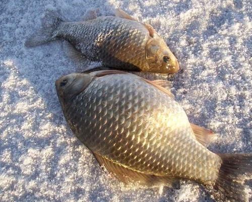Ловля карася в январе: январская рыбалка на карася на мормышку