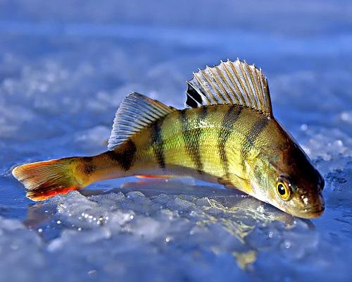 Ловля окуня по перволедью: рыбалка на окуня по первому льду