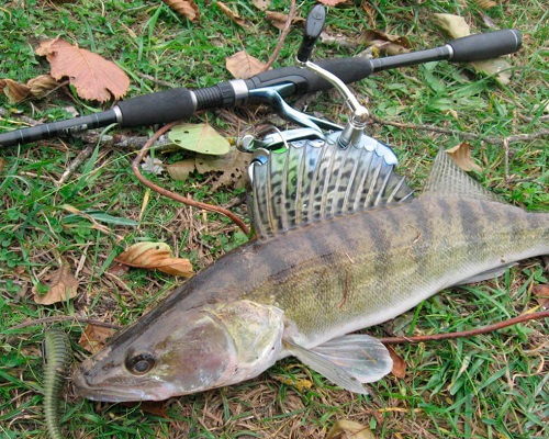 Ловля судака в октябре: как ловить судака на спиннинг на джиг и воблер