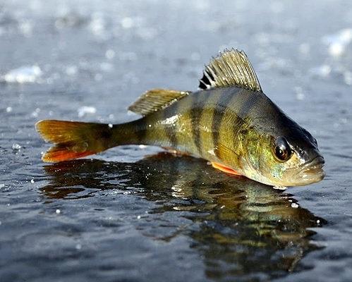 Окунь – главная звезда подледной рыбалки
