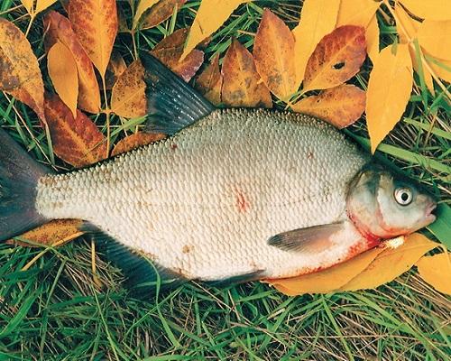 Особенности речной лещовой ловли глубокой осенью