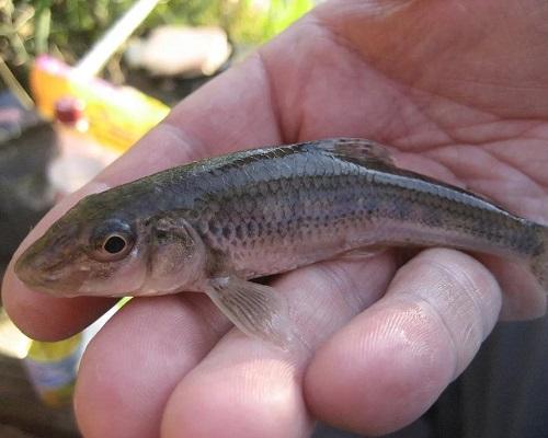 Рыба пескарь: внешние данные, особенности жизни, фото