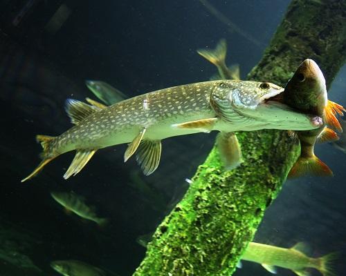 Рыбалка на щуку осенью на живца