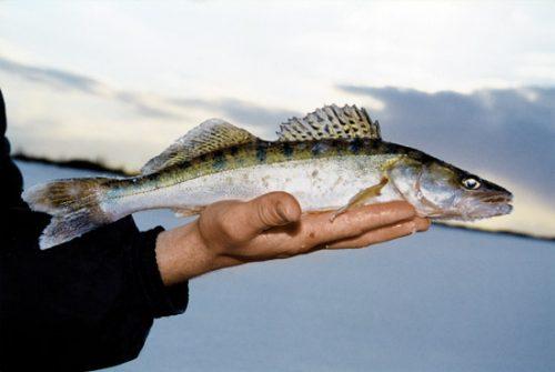 Ловля судака зимой на реке и других водоемах: самые уловистые снасти и лучшие приманки для зимней рыбалки, видео где искать и как ловить со льда