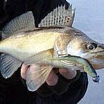 ловля судака зимой на силиконовые приманки