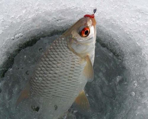 Зимняя ловля плотвы и окуня — особенности клева и лова
