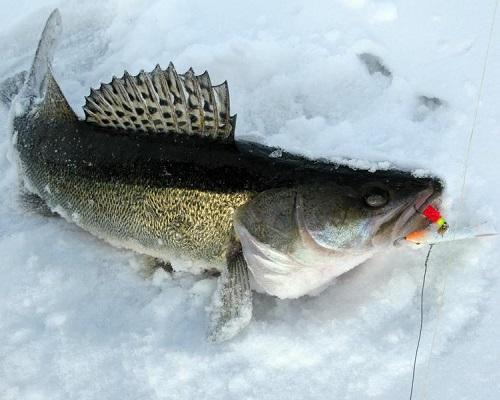 Как поймать судака зимой