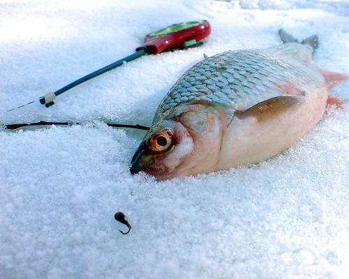 Как поймать плотву зимой на мормышку: великолепная сорожка
