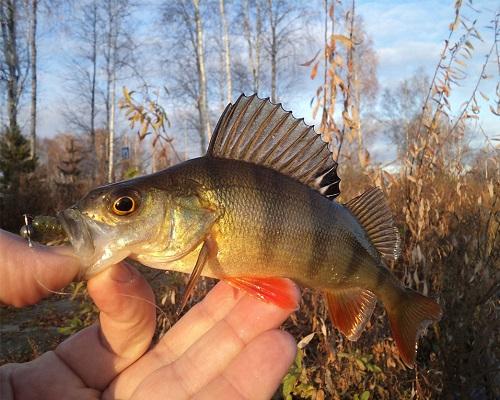 Рыбалка на окуня осенью: Успеновская запруда — зеленая чешуя