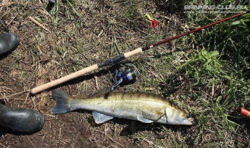 Все тонкости процесса ловли судака на живца оснастка для рыбалки с берега