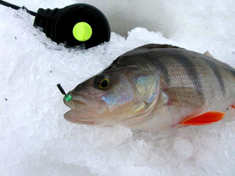 Ловля окуня зимой на безмотылку мормышку