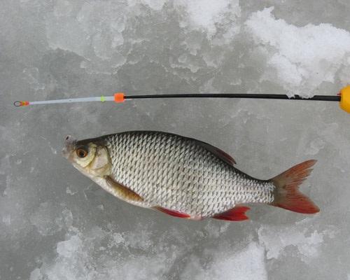 Ловля красноперки зимой: где и на что ловить красноперку зимой