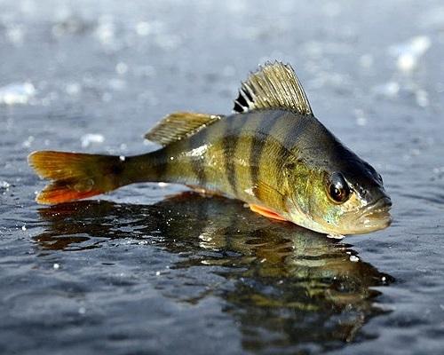 Начинающему рыболову — зимнику: ловля мелкого окуня на мотыля и крупного на блесны