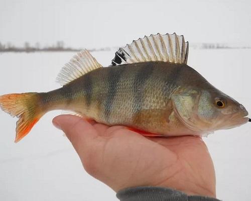 Рыбалка по первому льду: cоветы и рекомендации для рыбалки по перволедью