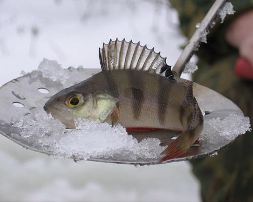 Рыбалка по первому льду: ловля плотвы, щуки, окуня по перволедью