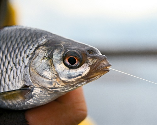 Ловля плотвы — наживки и снасть: 28 советов для рыбаков, уважающих плотву