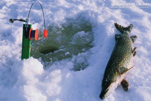 Как ловить на жерлицу зимой щуку