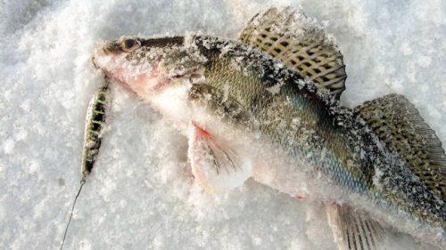 Ловля берша зимой