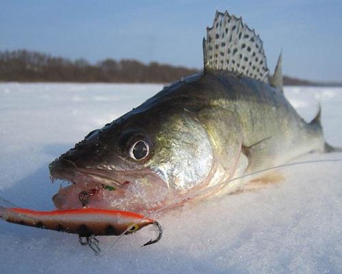 Весенняя ловля судака: по последнему льду и открытой воде ...