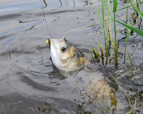 Ловля толстолобика в мае на поплавочную удочку