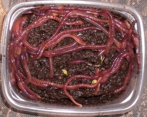 Как хранить навозных червей в домашних условиях